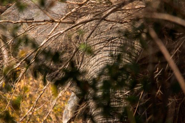 L'œil du maître. Eléphant d'Afrique