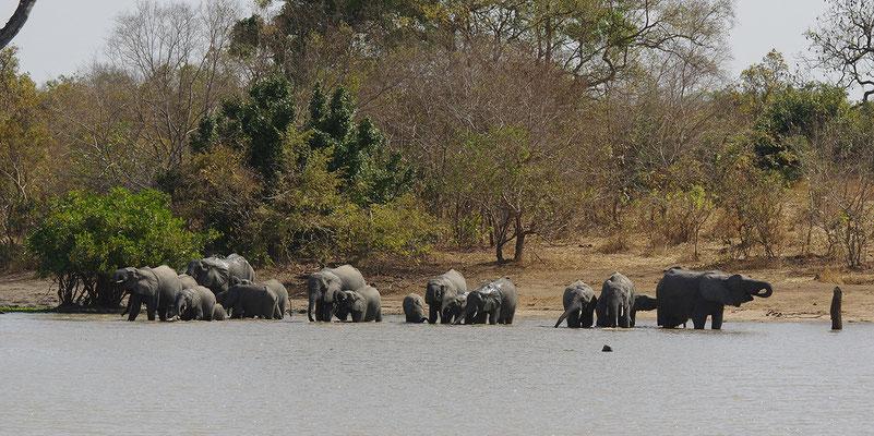 La guinguette est ouverte 1. Eléphants d'Afrique