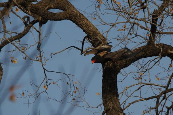 Raptor 2, aigle bateleur des savanes