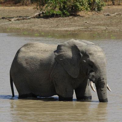 Coup de pompe, éléphant d'Afrique
