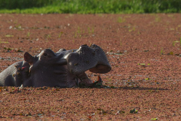 Vive la salade ! Hippopotame