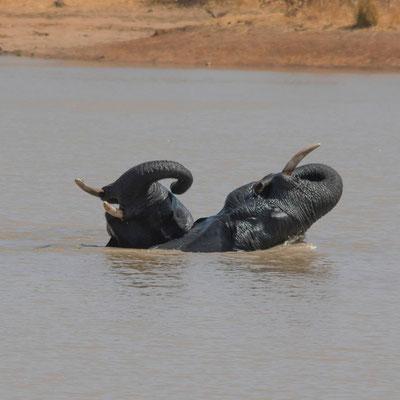 Joutes aquatiques 2, éléphants d'Afrique