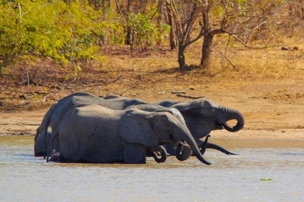 Coups de pompe collectifs.Eléphants d'Afrique