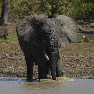 Big Bull, monodéfense, éléphant d'Afrique