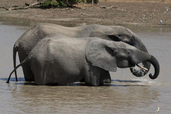 Coups de pompe, éléphants d'Afrique