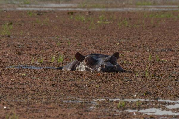 Ami ou ennemi ? Hippopotame