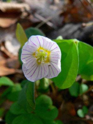 Wald-Sauerklee | 5-teilige Blütenkrone, weiß mit violetten Adern | copyright Britta Jessen
