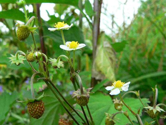 Wald-Erdbeere, Blüten und Früchte | copyright Britta Jessen