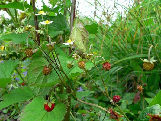 Wald-Erdbeere, Blüten und Früchte, der Fruchtkelch hebt sich von der Frucht ab | copyright Britta Jessen
