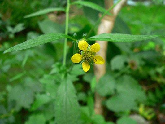 Nelkenwurz, 2-6 aufrechte gelbe Blüten | copyright Britta Jessen
