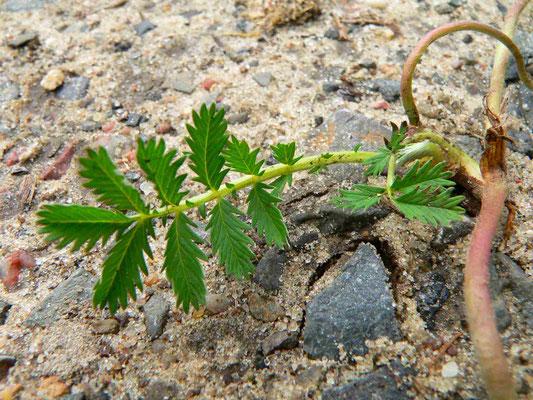 Gänsefingerkraut, wächst auf nährstoffreichen und verdichteten Böden | copyright Britta Jessen