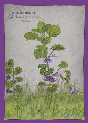 Kräuterkarte_Gundelrebe  Gundermann_Glechoma hederacea © Britta Jessen