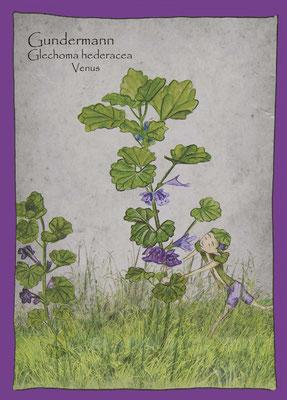 Wildkräuterkarte_Gundelrebe  Gundermann_Glechoma hederacea © Britta Jessen