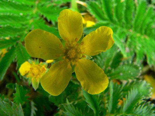 Gänsefingerkraut, 5 Kelch-und Blütenblätter, Rosengewächs, bei schlechtem Wetter schließen sich die Blüten | copyright Britta Jessen