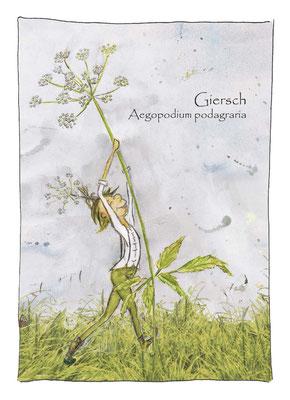 Kräuterkarte_Giersch_Aegopodium podagraria © Britta Jessen