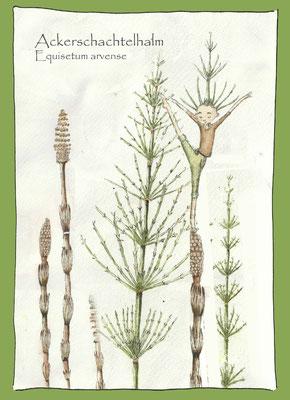 Kräuterkarte_Ackerschachtelhalm_Equisetum arvense © Britta Jessen
