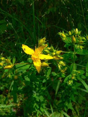 Johanniskraut, Blüte, beim Zerdrücken tritt ein roter Saft aus  | copyright Britta Jessen