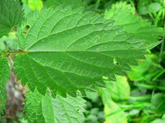 Brennessel -Blätter schmal bis herzförmig gesägt  | copyright Britta Jessen
