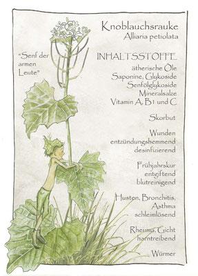 Kräuterkarte_Knoblauchsrauke_Allaria petiolata © Britta Jessen