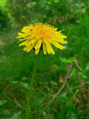Löwenzahn, gelbe Zungenblüten | copyright Britta Jessen