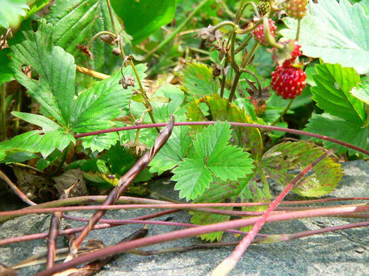 Wald-Erdbeere, bildet Tochterpflanzen durch oberirdische Ausläufer | copyright Britta Jessen