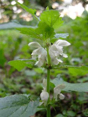 Weiße Taubnessel,  kreuzgegeständige Blätter und weißes Blütenkarussell | copyright Britta Jessen