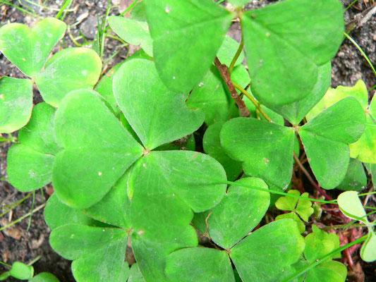 Wald-Sauerklee | Blätter lang gestielt, faltensich am abend zusammen | copyright Britta Jessen