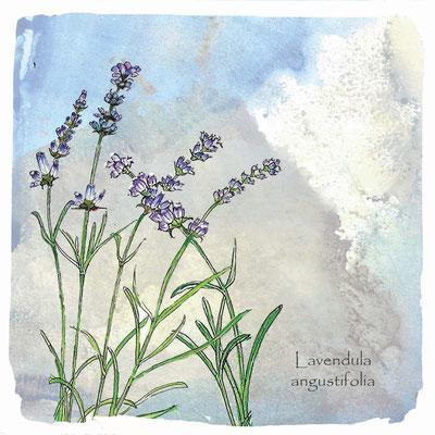 Wildkräuter-Grußkarte_Lavendel, Lavendula angustifolia_Aquarellzeichnung © Britta Jessen