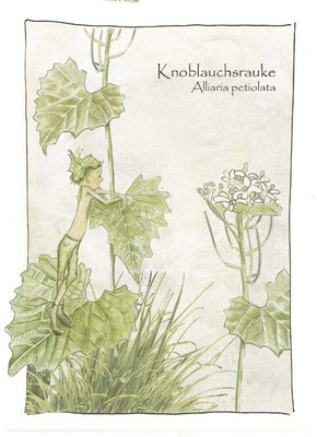 Kräuterkarte_Knoblauchsrauke_Alliaria petiulata © Britta Jessen