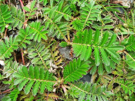 Gänsefingerkraut - grüne Blattoberseite, die Unterseite ist silbrig behaart  | copyright Britta Jessen