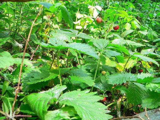 Wald-Erdbeere, Blätter glänzend grün | copyright Britta Jessen