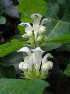Weiße Taubnessel, weiße Lippenblüten, Blütenkarussell | copyright Britta Jessen