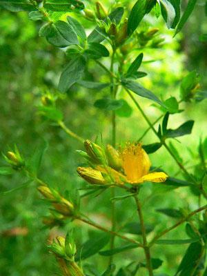 Johanniskraut, Blätter sind ungestielt | copyright Britta Jessen