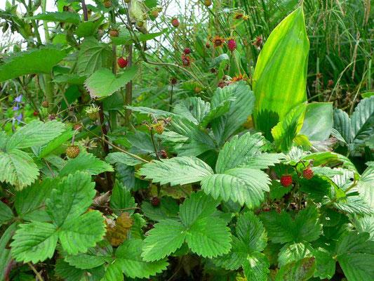 Wald-Erdbeere, verschiedene Vegetationsstadien | copyright Britta Jessen