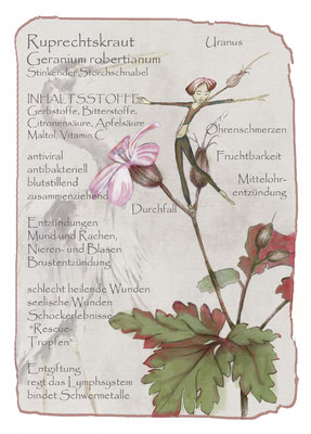 Kräuterkarte_Rupbrechtskraut_Geranium rubertianum © Britta Jessen