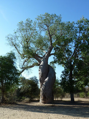 "baobabs ""amoureux"""