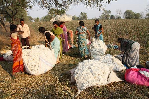 cueillette du coton