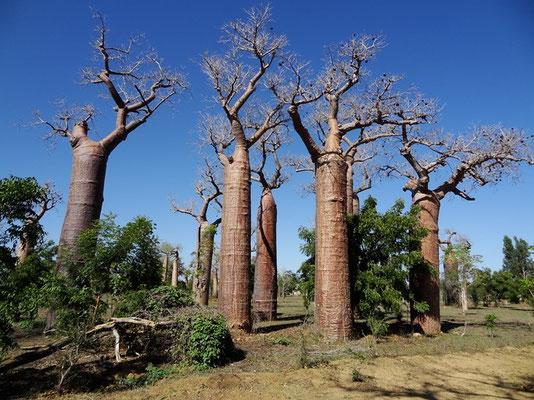 baobab bouteille