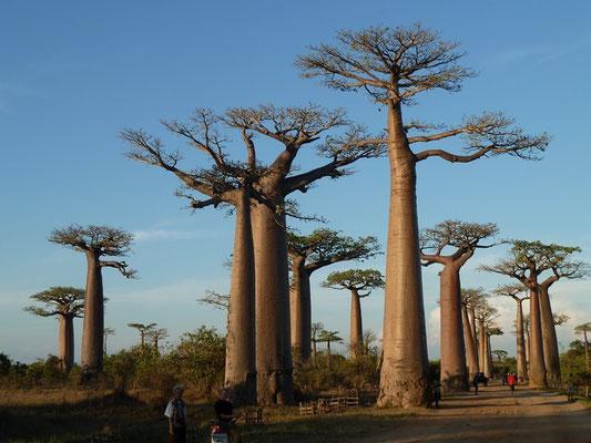 allée des baobabs - entre Morondava et Belon'i Tsiribihina