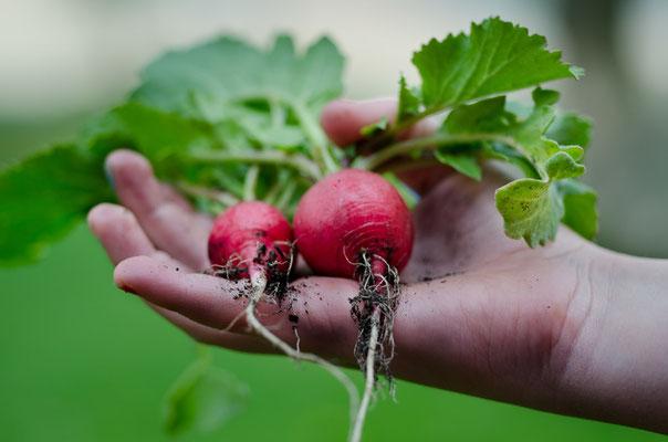 ravanelli da orticoltura biologica