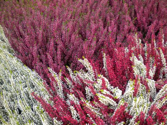 Erika - bei uns gibt es nur die ausdauernde, winterharte Sorte! rot, rosa, weiß, 2-färbig