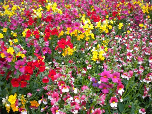 Sunsatia - üppig blühende Ampelpflanze