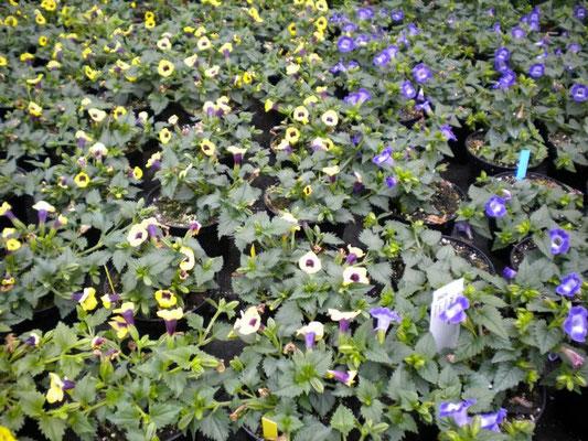Torenia gelb und blau