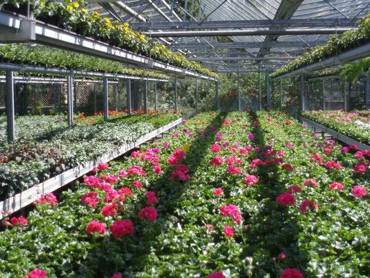 Ein Blick in unsere Gärtnerei! - Die Fotos sind von Frühjahr bis Herbst geordnet! Pflanzbeispiele finden Sie am Ende der Galerie! Viel Spaß beim Schmökern!