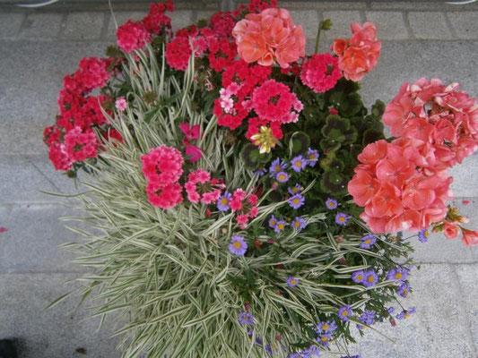Pelargonien, Honiggras