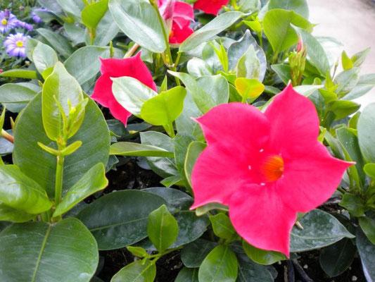 Sundaville - Diplanthenia, mehrjährige Kletterpflanze mit wunderschönen Blütenkelchen