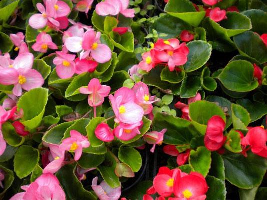 Begonia semperflorens - rot, rosa, weiß, helllaubig, dunkellaubig