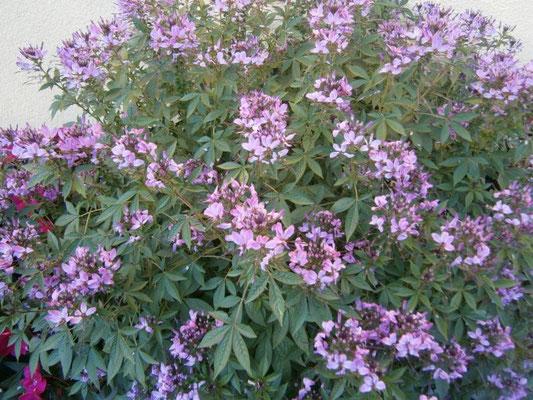Cleome - Spinnenpflanze - wächst in nur einem Sommer bis zu 150cm