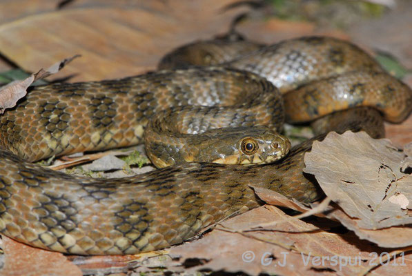 Viperine Snake - Natrix maura