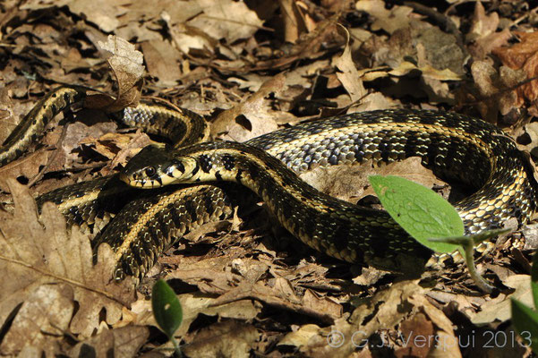 Grass Snake - Natrix natrix persa